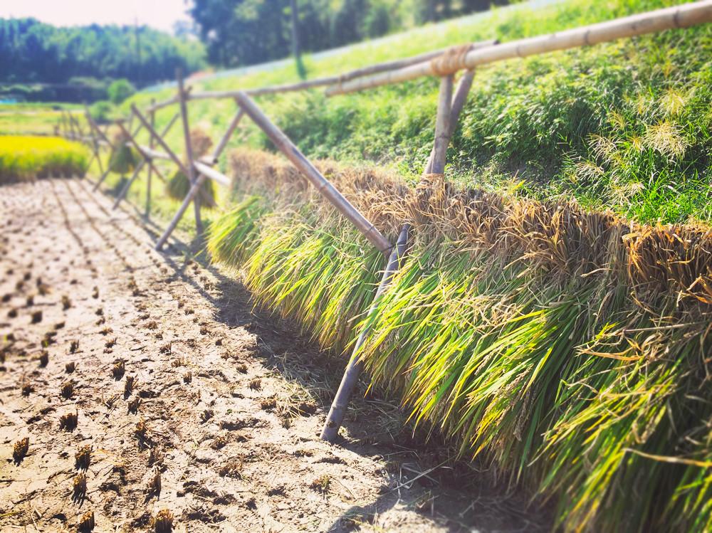 わぶ城湧水農園のお米